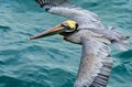 Pelican flying low