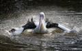 Pelican_Bathtime
