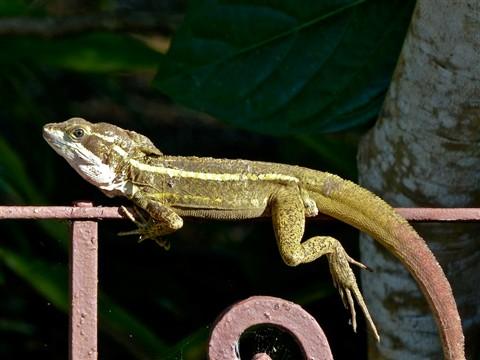 Basilisk Lizard 50491