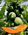 Pawpaw-papaya - they grow on trees!