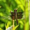 ainsect dragonfly 2192 widow skimmer tyngsboro 2020