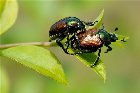 Two Japanese Beetles