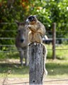 The largest squirrel in North America, this squirrel is found throughout Florida except for the Keys. This particular squirrel makes his home in Sandy, FL (Myakka area).