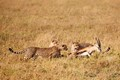 Thomsons Gazelle being chased by Cheetah mother and cubs