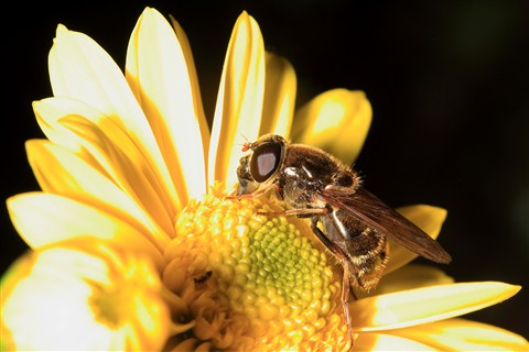 Syrphidae_on_a_yellow_flower