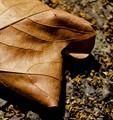 curling leaf