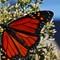Monarch2_fullsized_crop_SPP