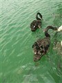Swan and fish..