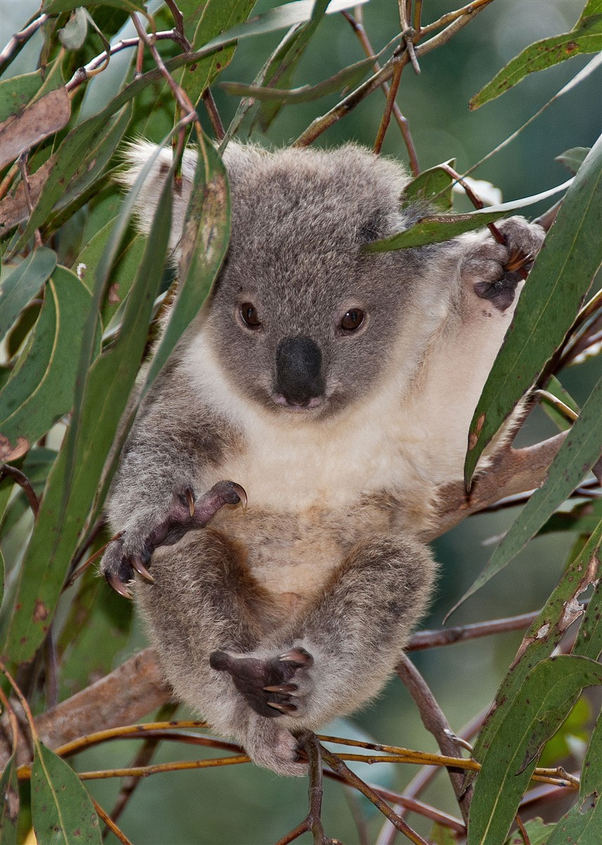 Koala joey 6 months old: Jen003: Galleries: Digital ...