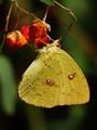 sulphur on jewelweed