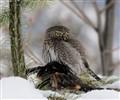 Northan hawk owl (juvenile)