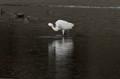Snowy Egret ends a small Fish - Crescent City, CA
