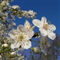 Clear blue sky & crisp white blossom.