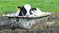 cow in bath tub