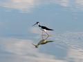 Black-necked Stilt in calm water