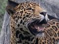 Jaguar_DSC0696