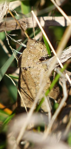 Grasshopper Close Up Pic 1