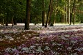 Cyclamen Carpeted Forest