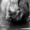 rhino3 (Medium)
