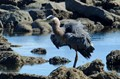 The Great Blue Herron at Botanical Beach on Vancouver Island. He looks at an angry bird with all his ruffled feathers.