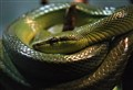 Red Tailed Green Snake