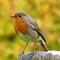 European Robin: