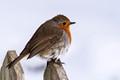 Robin  (Erithacus rubecula) .