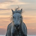 Horse of the Camargue at Sunrise with a pastel colored sky