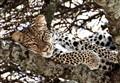 Tanzania_Leopard_2012b