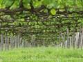 Below the vines