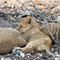 A Lion Cub Snoozing with Pride Members in the Afternoon at Etosha National Park DEC 3 2016 NAMIBIA (1 of 1)