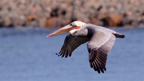 pelican dt sm