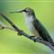 Ruby-Throated Hummingbird - Female - Resting.