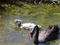 black swan with ugly duckling
