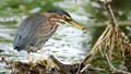 GREEN HERON AND PUMPKINSEED