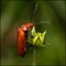 Cardinal beetle on flower