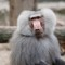 Baboon_1_small