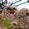 Great Horned Owl Chicks 1