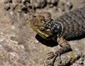 lizard in rock