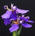 Neomarica flowers
