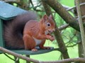 Red Squirrel in Scottish Garden