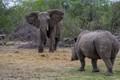 serondella elephant stand off with rhino