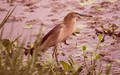 Watchful pond heron,patiently waiting,for the catch,Salt lake park,Kolkata.