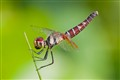 Pygmy dragon fly