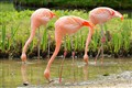 Trio Flamingo