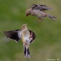 Gold Finches Fighting in Flight