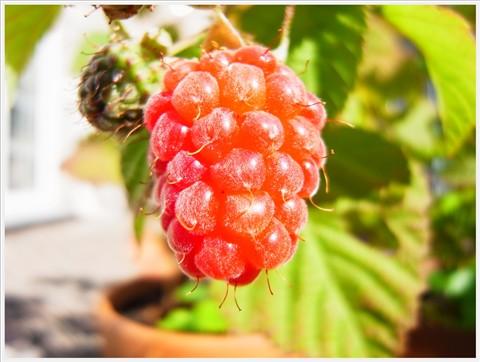 berriesRIMG19435-001