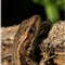 FZ200: Common lizard