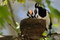 magpie lark feeding