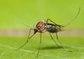 Twilight Mosquito